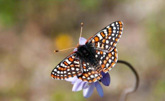 Leptiri i ostali insekti - Page 3 15392410