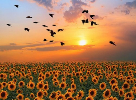 Suncokreti-sunflowers - Page 30 21067810