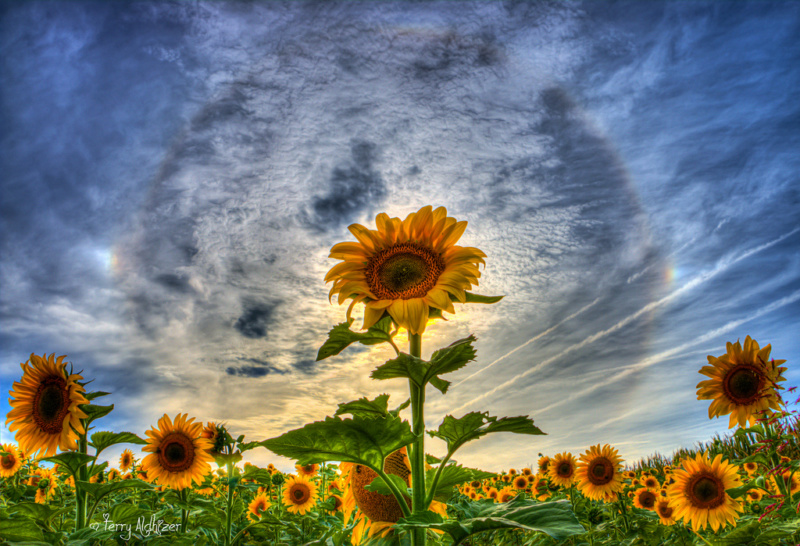 Suncokreti-sunflowers - Page 30 21543010
