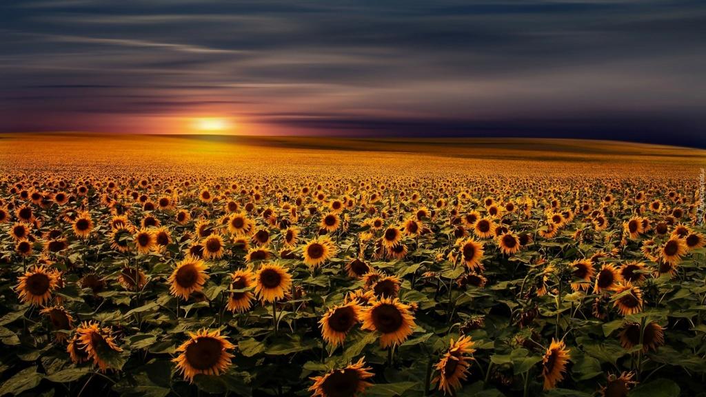 Suncokreti-sunflowers - Page 29 25900610