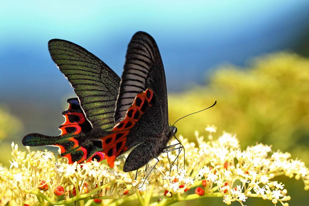 Leptiri i ostali insekti - Page 3 32182810