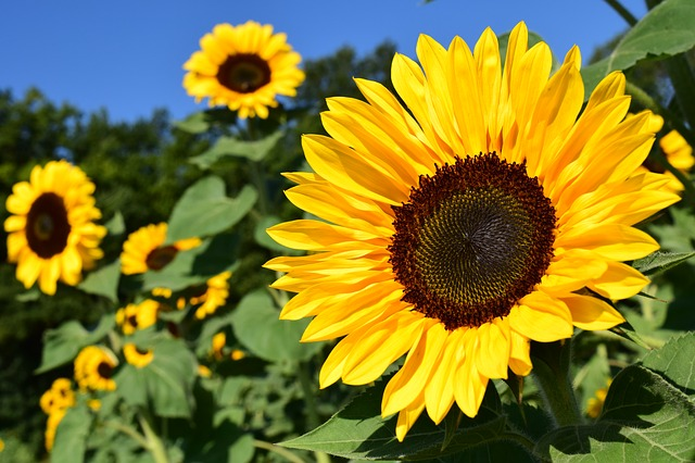 Suncokreti-sunflowers - Page 30 33947_10