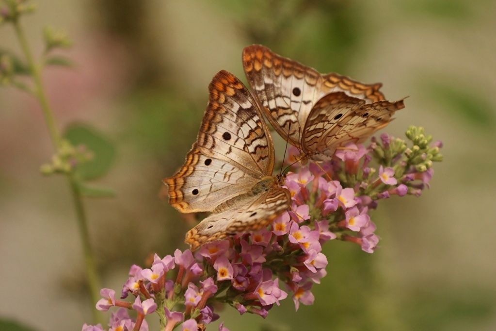 Leptiri i ostali insekti - Page 3 35484510
