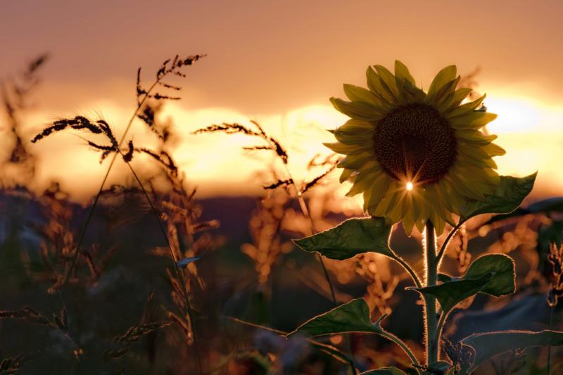 Suncokreti-sunflowers - Page 30 35715210