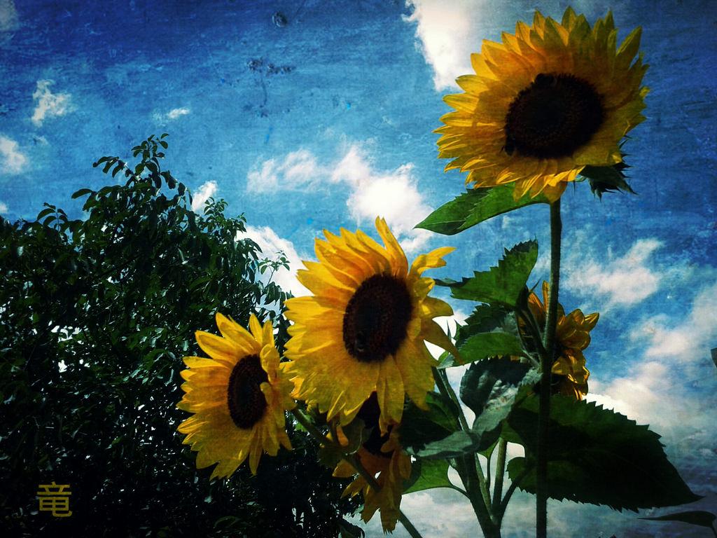 Suncokreti-sunflowers - Page 28 35897610