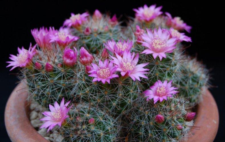 Kaktusi - Page 37 37197_10