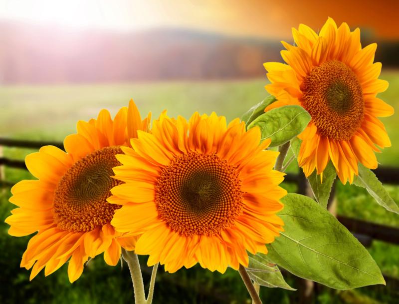 Suncokreti-sunflowers - Page 30 37913310