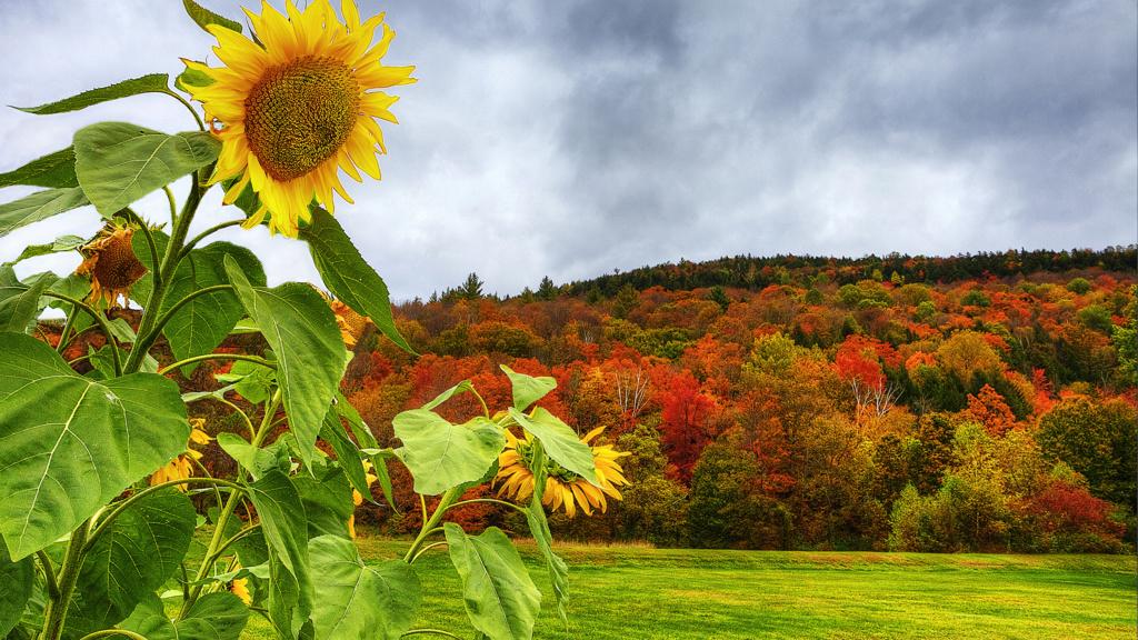 Suncokreti-sunflowers - Page 30 39093610