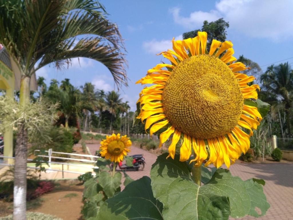 Suncokreti-sunflowers - Page 29 41oihi10