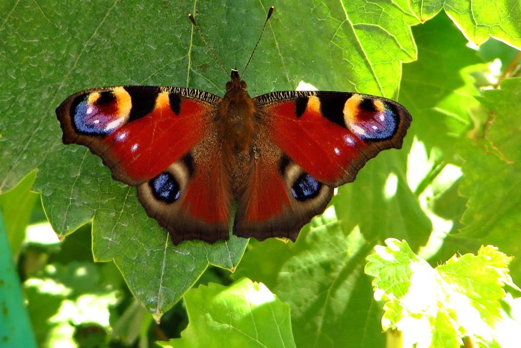 Leptiri i ostali insekti - Page 3 55409910