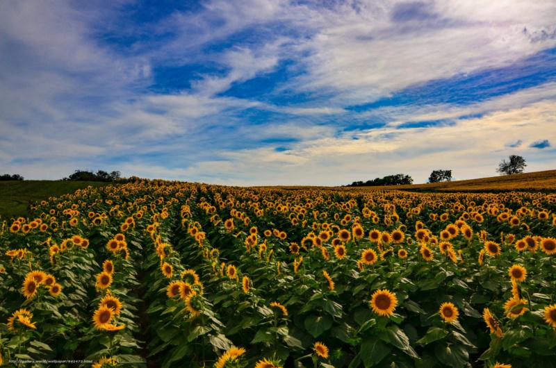 Suncokreti-sunflowers - Page 33 64147210