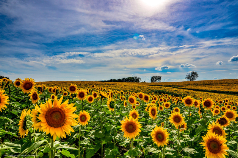 Suncokreti-sunflowers - Page 33 64160611