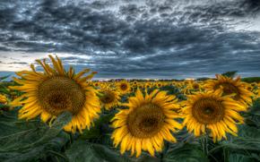 Suncokreti-sunflowers - Page 33 65264610