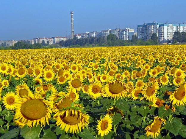 Suncokreti-sunflowers - Page 30 65488310