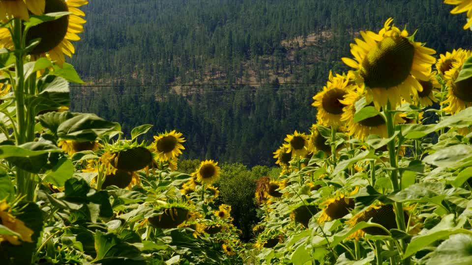 Suncokreti-sunflowers - Page 29 68171610