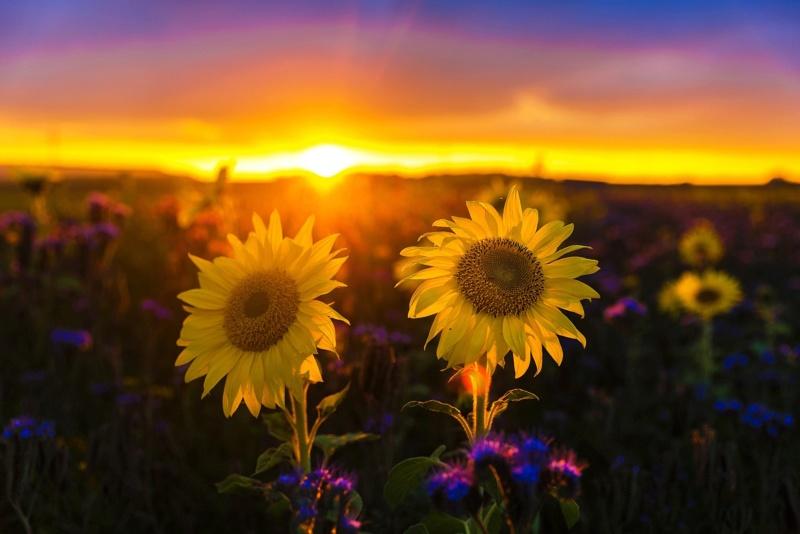 Suncokreti-sunflowers - Page 33 80850510
