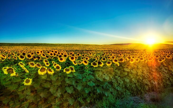 Suncokreti-sunflowers - Page 30 812