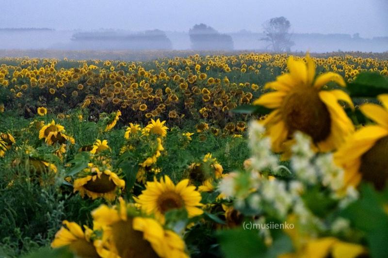 Suncokreti-sunflowers - Page 30 861a9b10
