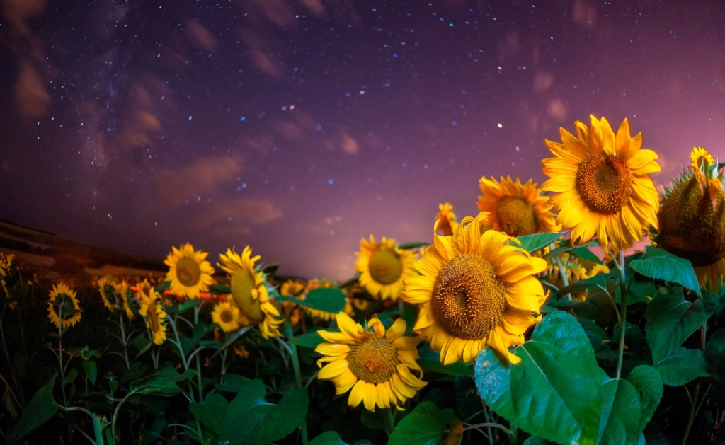 Suncokreti-sunflowers - Page 29 87017710