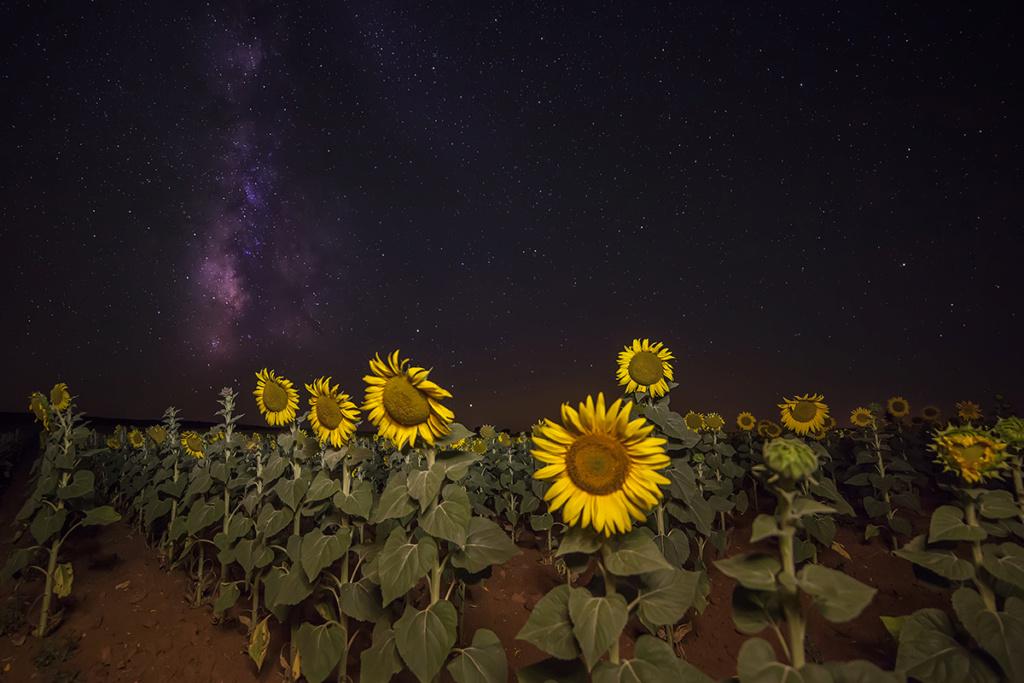 Suncokreti-sunflowers - Page 29 _mg_1610