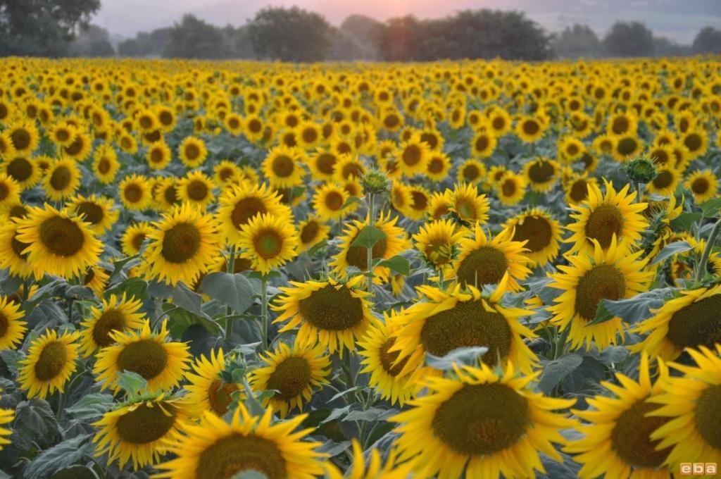 Suncokreti-sunflowers - Page 28 Ay_i_e10