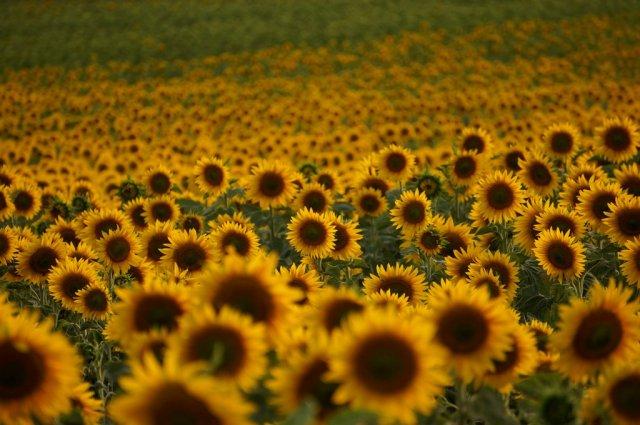 Suncokreti-sunflowers - Page 29 Aycice10