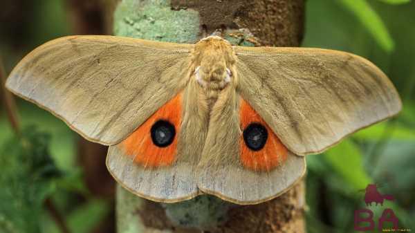 Leptiri i ostali insekti - Page 3 Baboch10