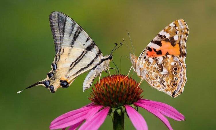 Leptiri i ostali insekti - Page 3 Babock11