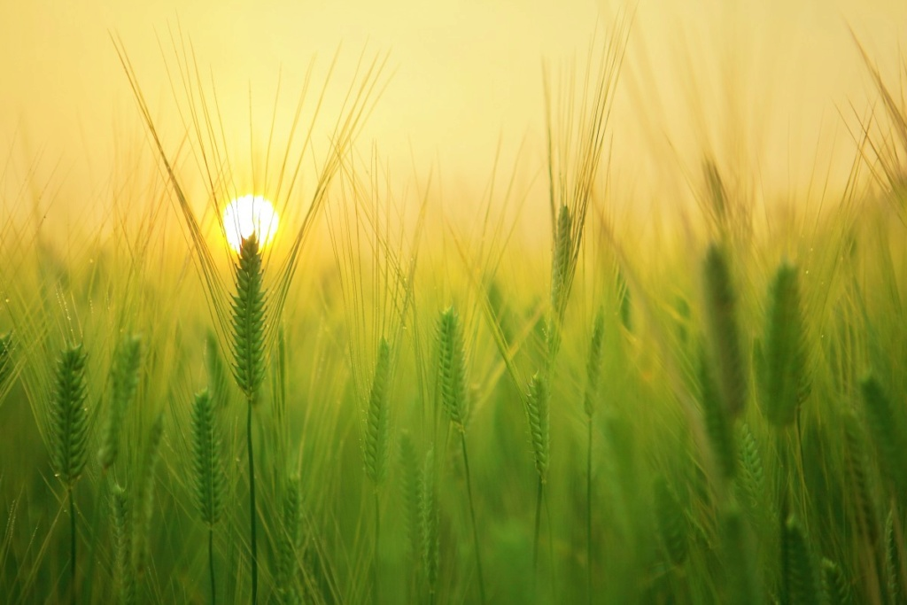 Žitna polja - Page 21 Barley15