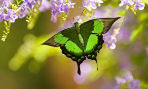 Leptiri i ostali insekti Butter20