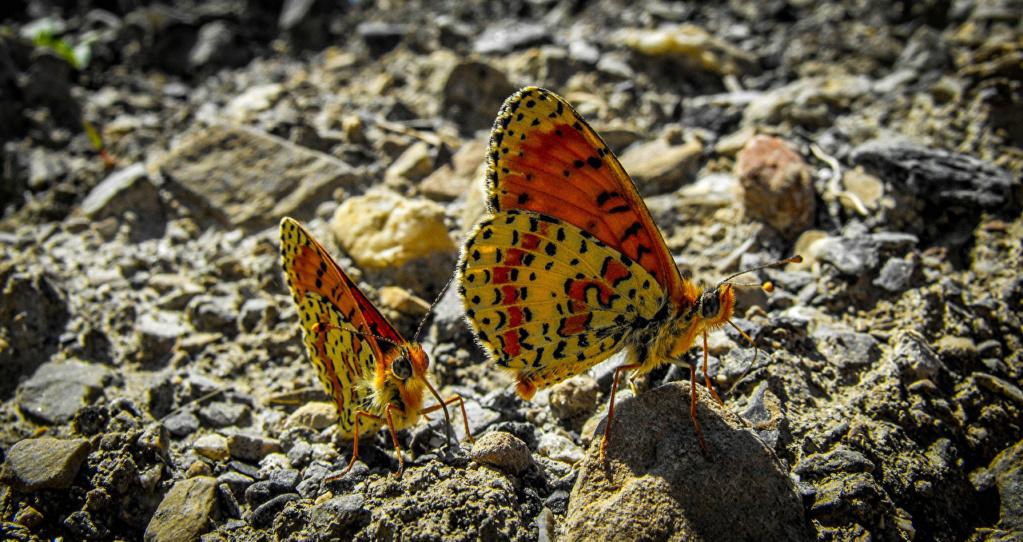 Leptiri i ostali insekti Butter21