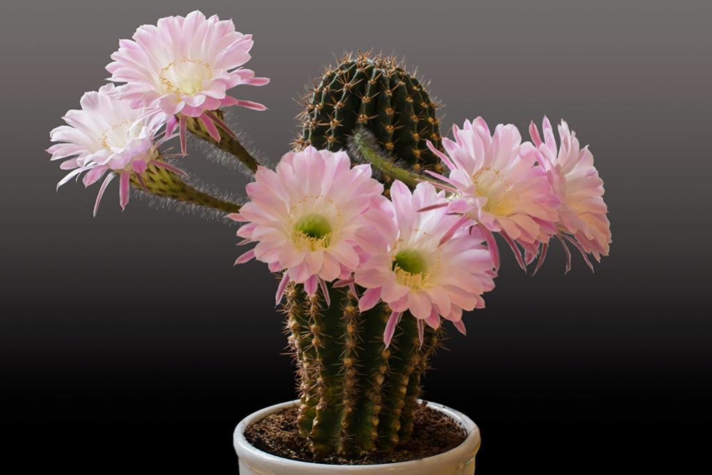 Kaktusi - Page 35 Cactus10