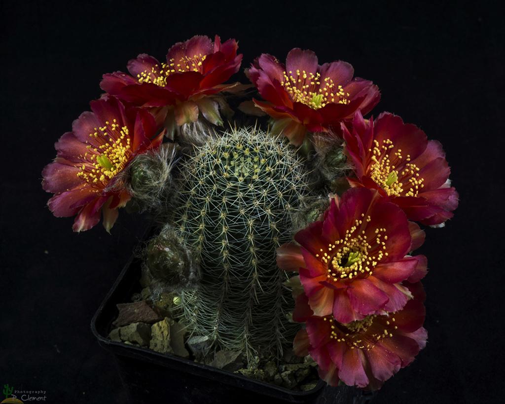 Kaktusi - Page 35 Cactus12
