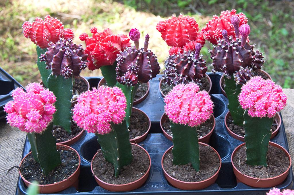 Kaktusi - Page 36 Cactus16