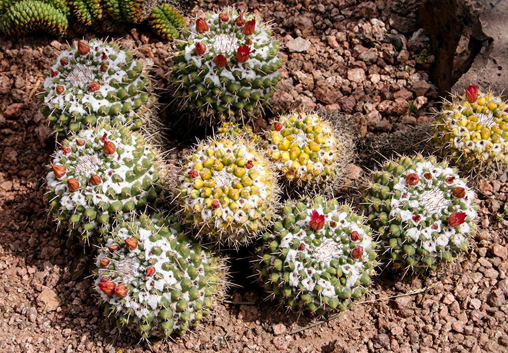 Kaktusi - Page 35 Cactus18