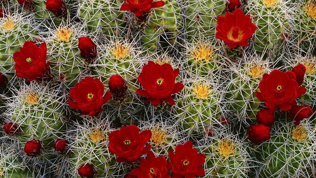 Kaktusi - Page 35 Cactus21