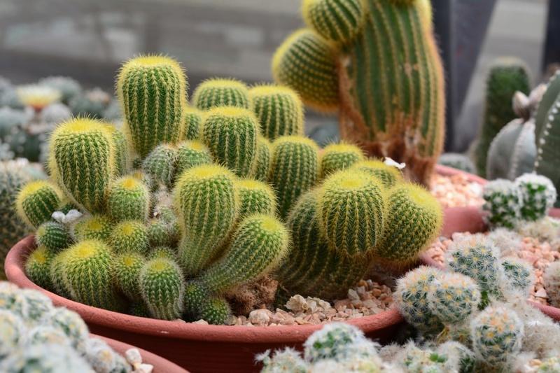 Kaktusi - Page 37 Cactus23