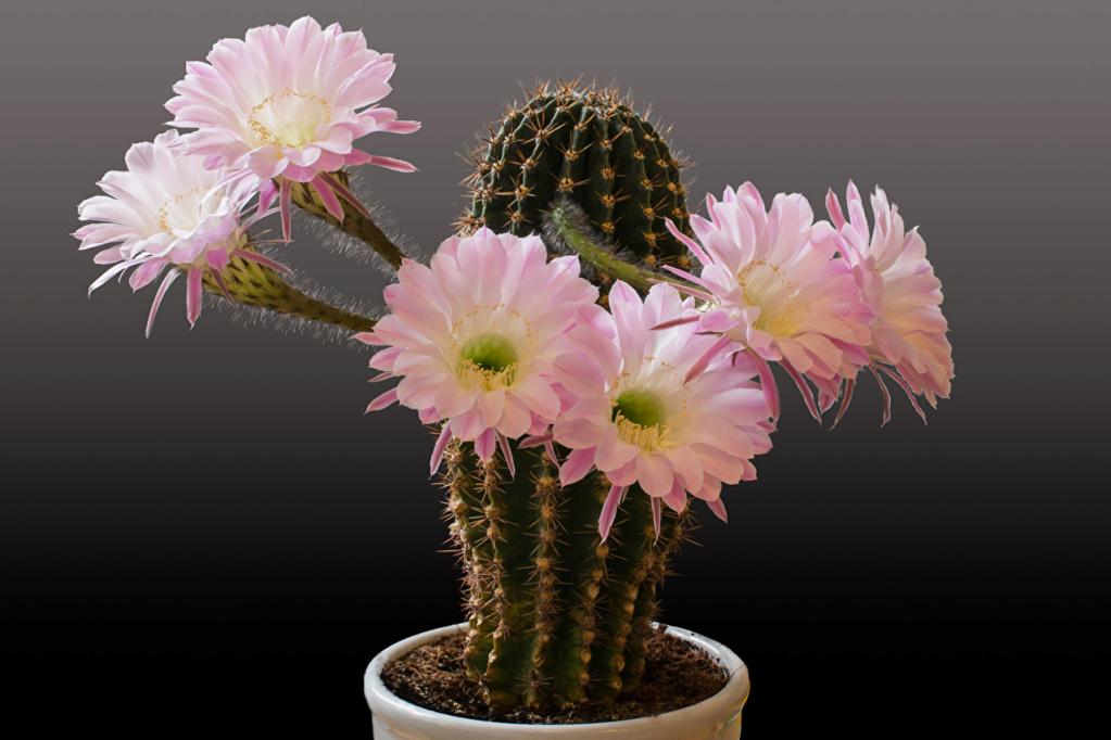 Kaktusi - Page 37 Cactus25