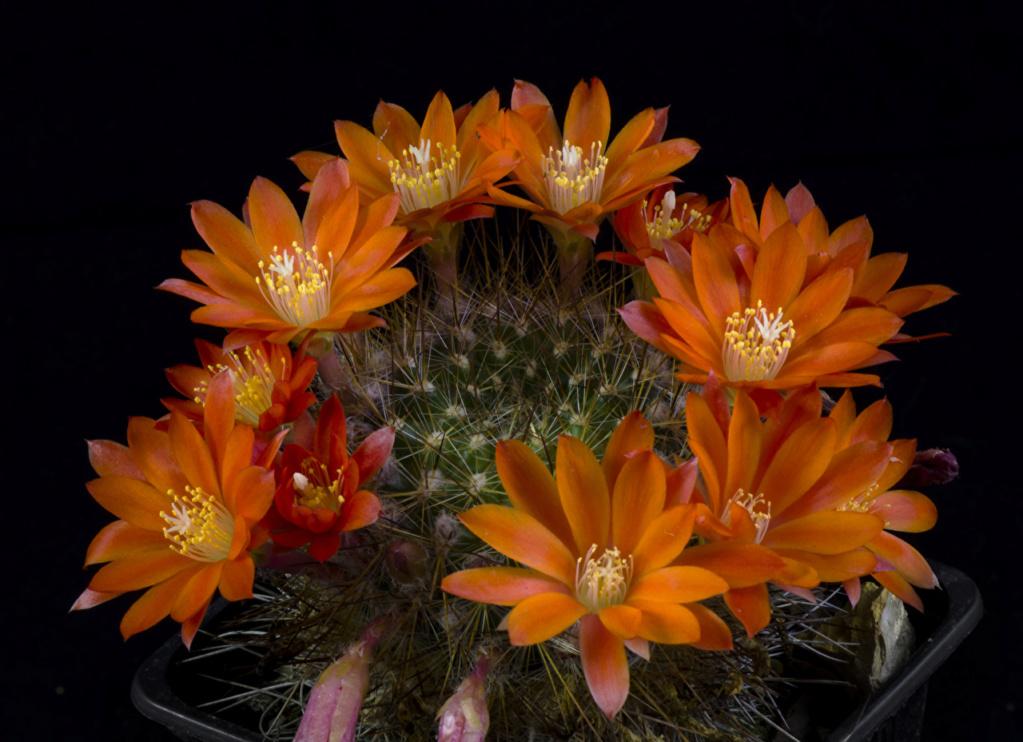 Kaktusi - Page 37 Cactus28