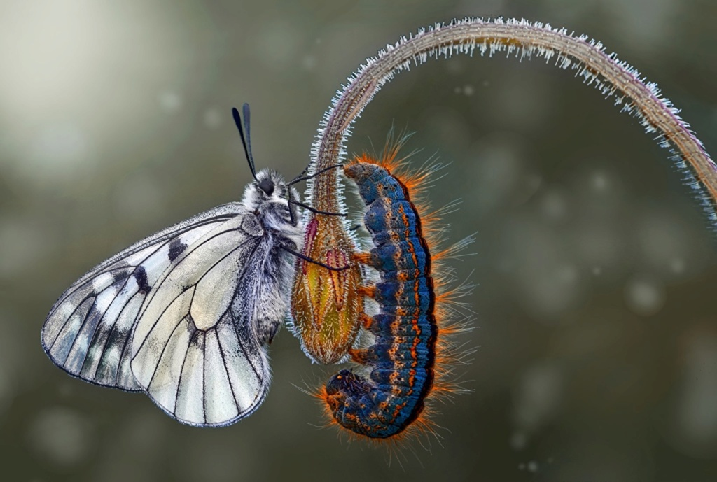 Leptiri i ostali insekti Closeu33
