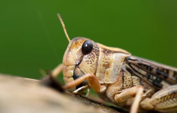 Leptiri i ostali insekti Cvrcak10