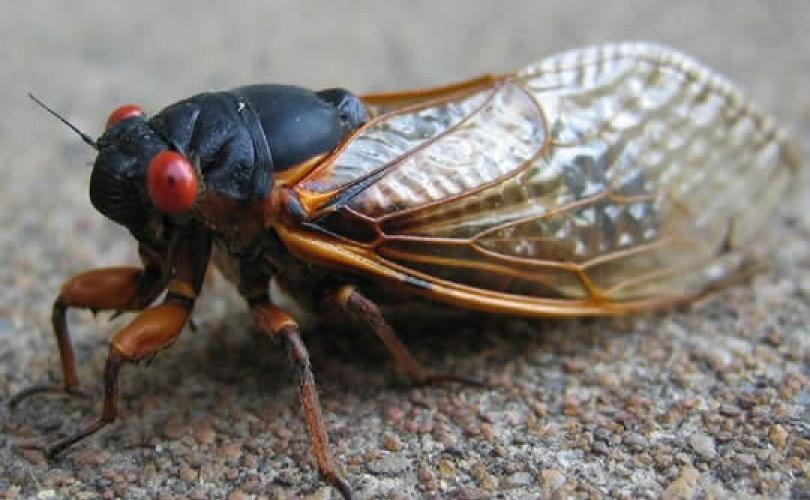 Leptiri i ostali insekti Cvrcak11