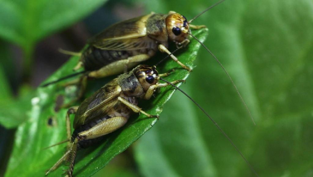 Leptiri i ostali insekti Cvrcci10