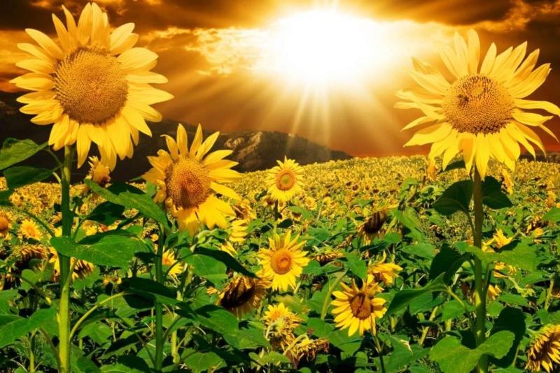 Suncokreti-sunflowers - Page 30 D0bfd014