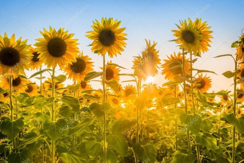Suncokreti-sunflowers - Page 30 Deposi35