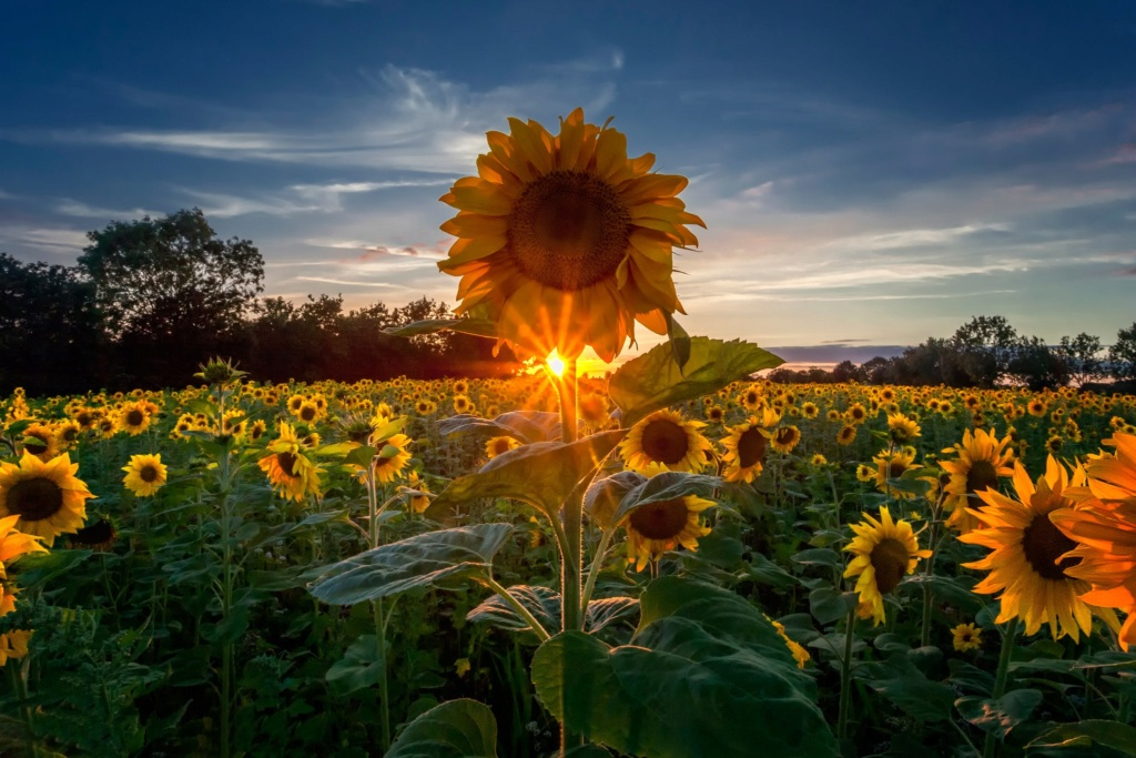 Suncokreti-sunflowers - Page 30 Deskto14