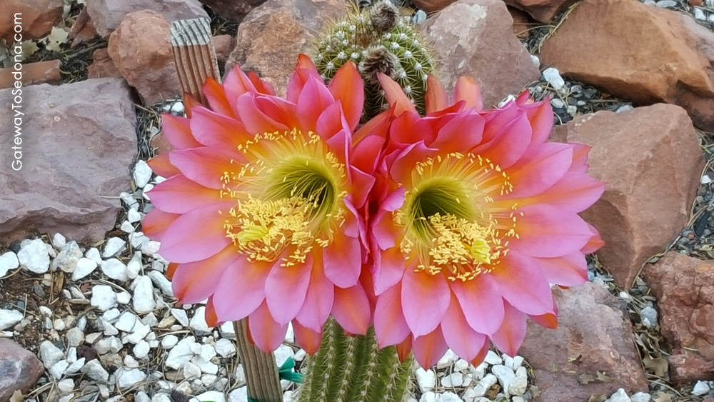 Kaktusi - Page 36 Echino10