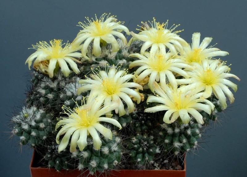 Kaktusi - Page 36 F72d6010