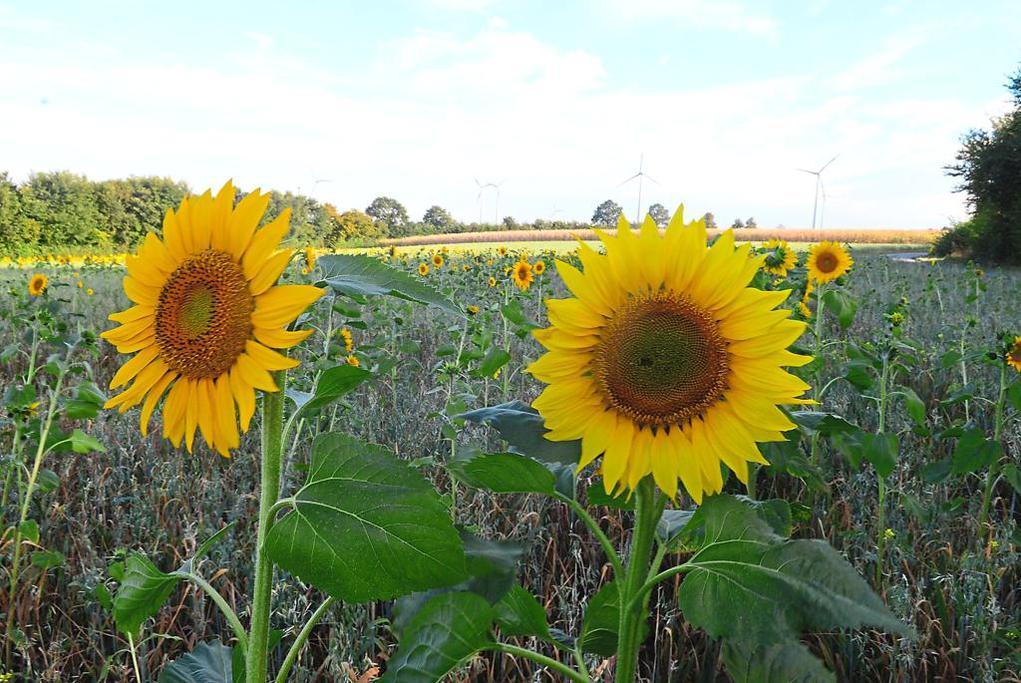 Suncokreti-sunflowers - Page 28 Felder10