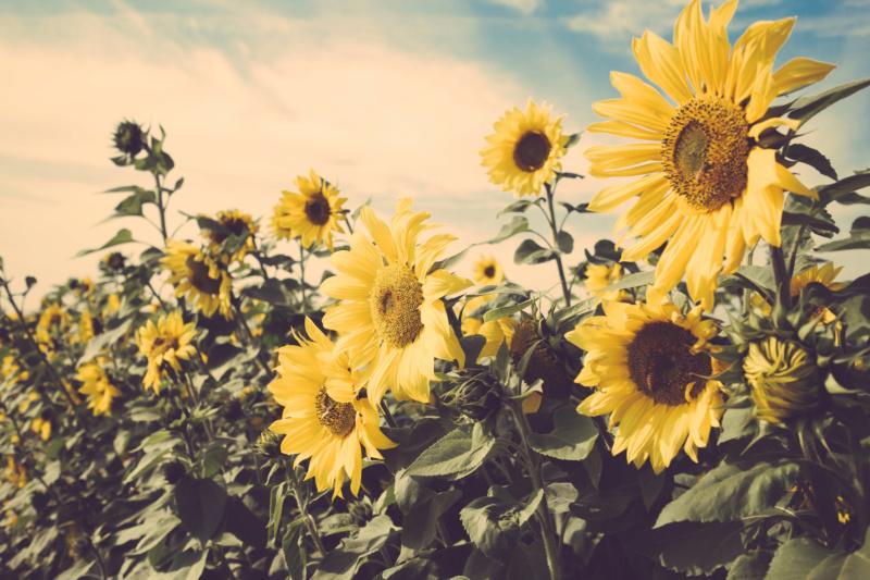 Suncokreti-sunflowers - Page 30 Fields23